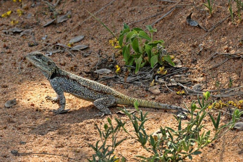 Black-necked Agama, Acanthocercus atricollis, Matopos National Park, Zimbabwe stock photos