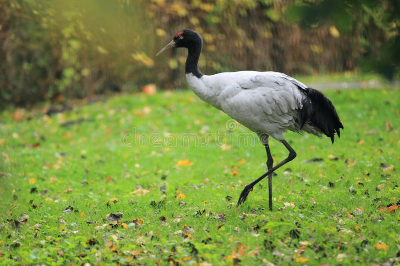 Black-necked crane. The black-necked crane strolling in the grass stock images