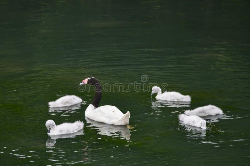 Black necked female swan cygnus melanocoryphus with her young cygnets swimming on pond. Black necked female swan cygnus melanocoryphus with her young cygnets stock image