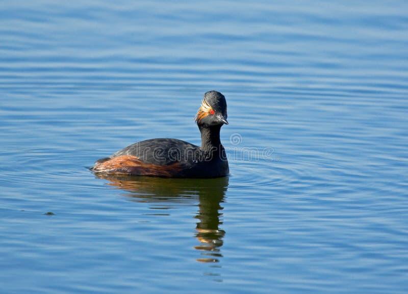 Black-necked Grebe in the pond