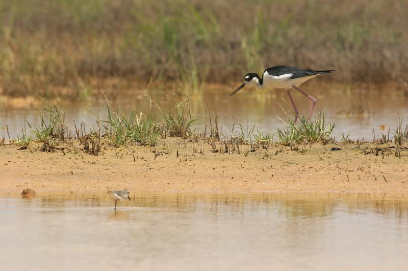 Black necked stilt bird feeding stock images