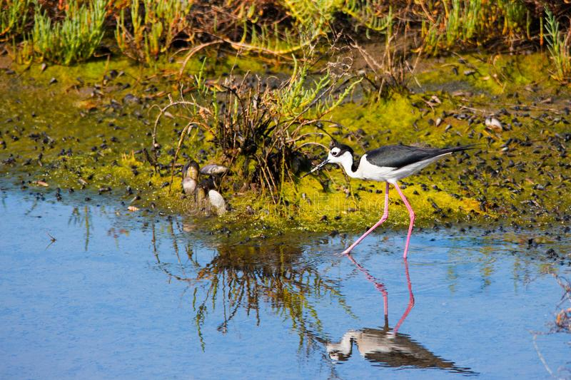 Black necked stilt bird with long thin legs and needle like bill wading in the water searching for food royalty free stock images