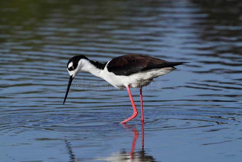 Black-necked Stilt bird royalty free stock images