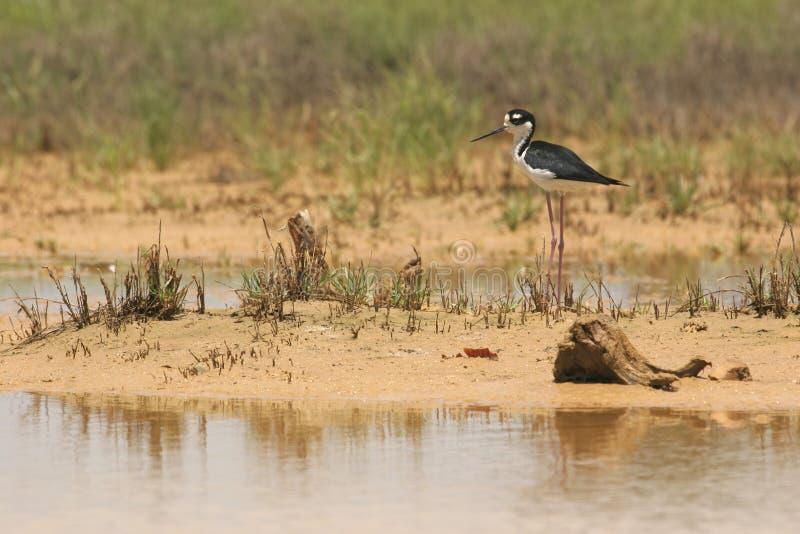 Black necked stilt bird stock image