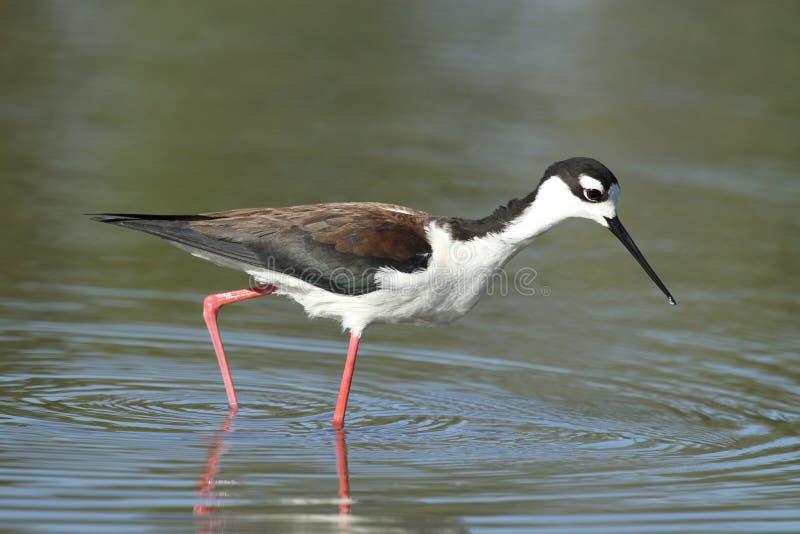 Black-necked Stilt bird stock images