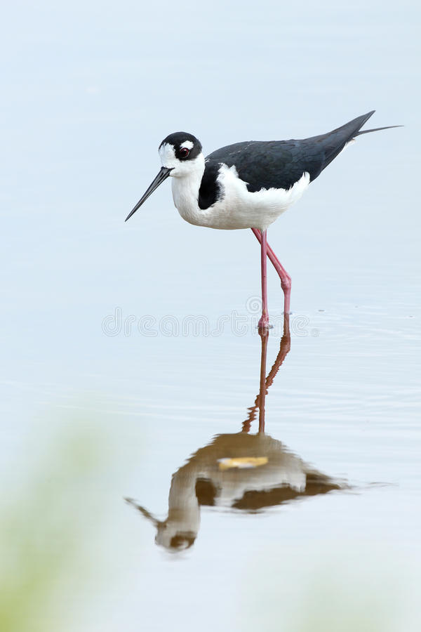 Black-necked Stilt - Everglades National Park. Black-necked Stilt (Himantopus mexicanus) - Everglades National Park, Florida royalty free stock photos