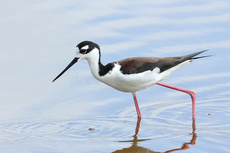 Black-necked Stilt - Everglades National Park. Black-necked Stilt (Himantopus mexicanus)wading in a shallow pond - Everglades National Park, Florida royalty free stock photo