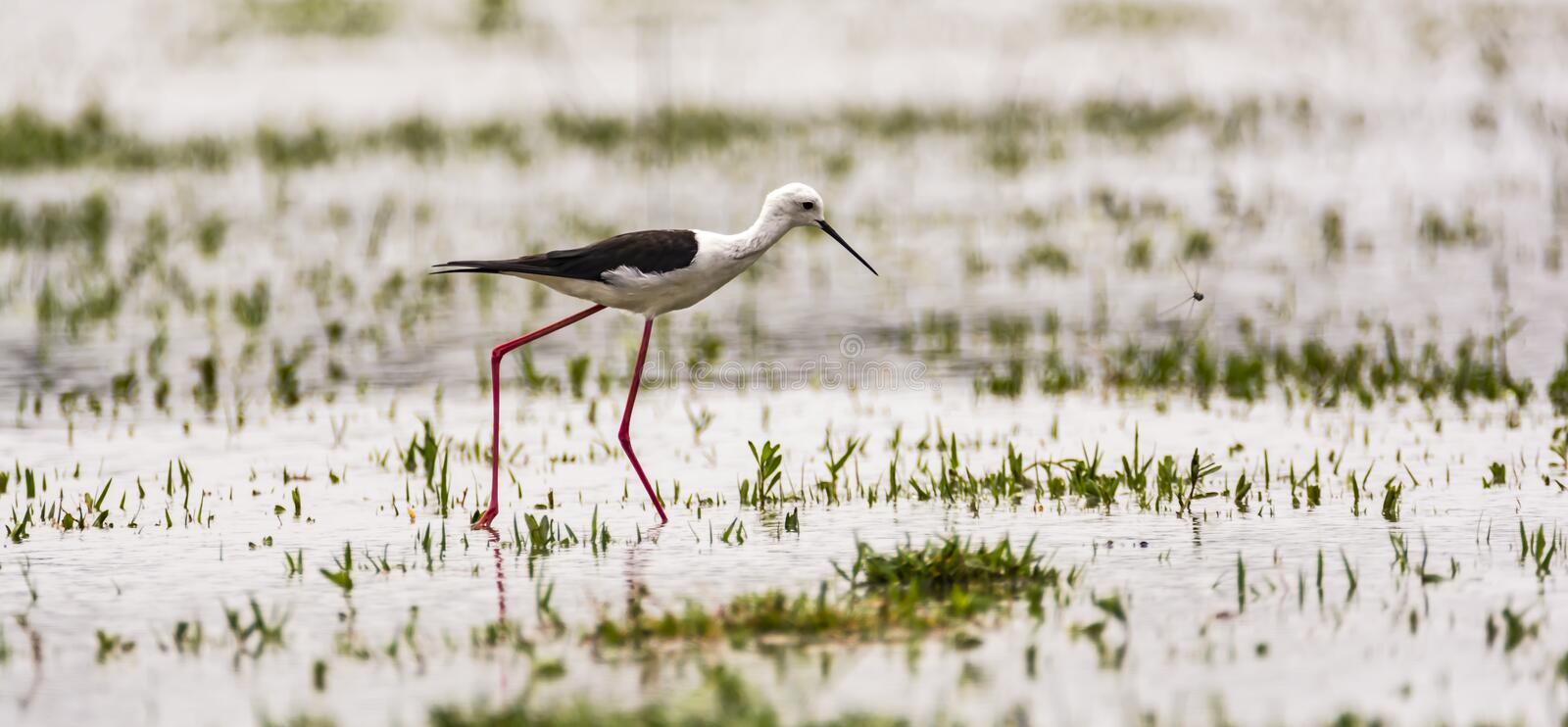 Black-necked Stilt exploring for food. The black-winged stilt Himantopus himantopus is a widely distributed very long-legged wader in the avocet and stilt family stock photos