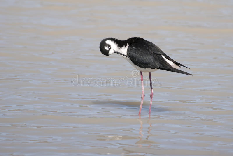 Download Black-necked Stilt stock photo. Image of avian, wading - 39501120