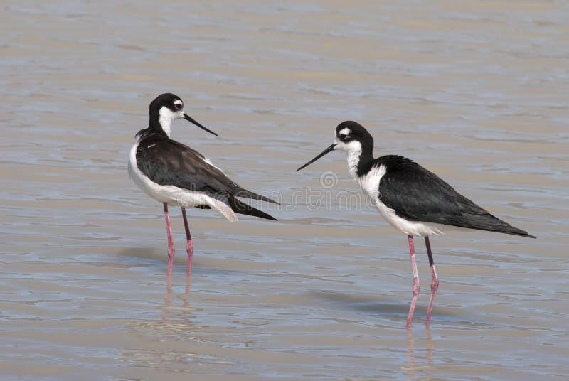 Download Black-necked Stilt stock image. Image of black, wildlife - 39501131