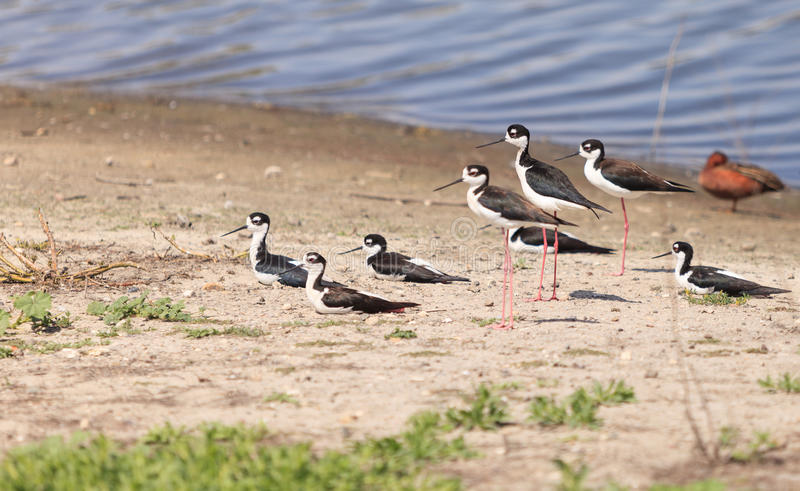 Black-necked stilt, Himantopus mexicanus, shore birds. In spring, fishing in a marsh pond in Irvine, California, United States stock image