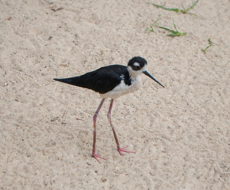 Black-necked stilt, Himantopus mexicanus, a bird, black with a white neck, with long legs, walking on the sand royalty free stock photos