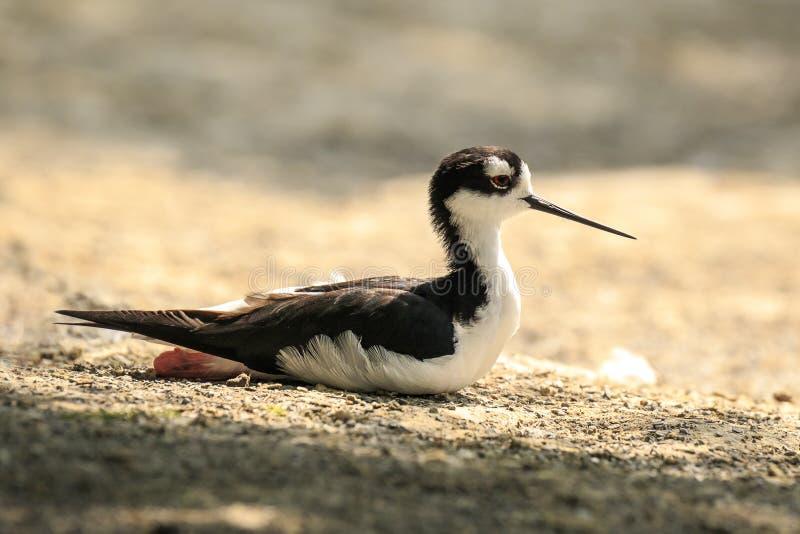 Black-necked stilt, Himantopus mexicanus, wader bird posing and royalty free stock image