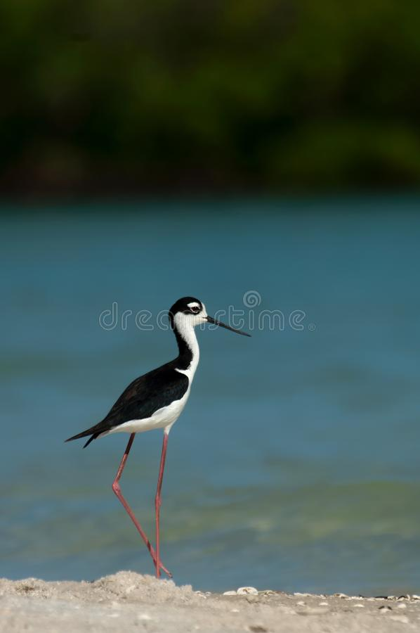 A black-necked stilt at Wiggins Pass, Florida. royalty free stock photos