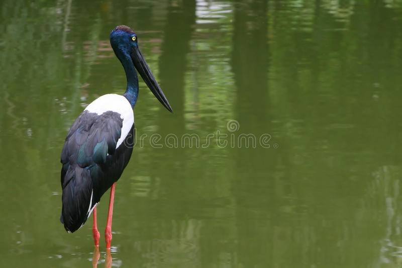 Black Necked Stork Royalty Free Stock Images