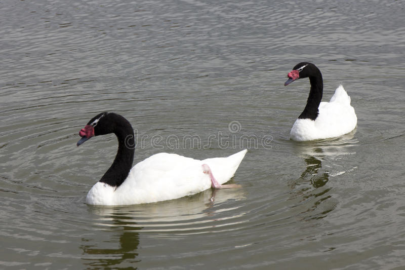 Black necked Swans stock photos