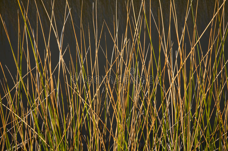 Black needle rush stock images