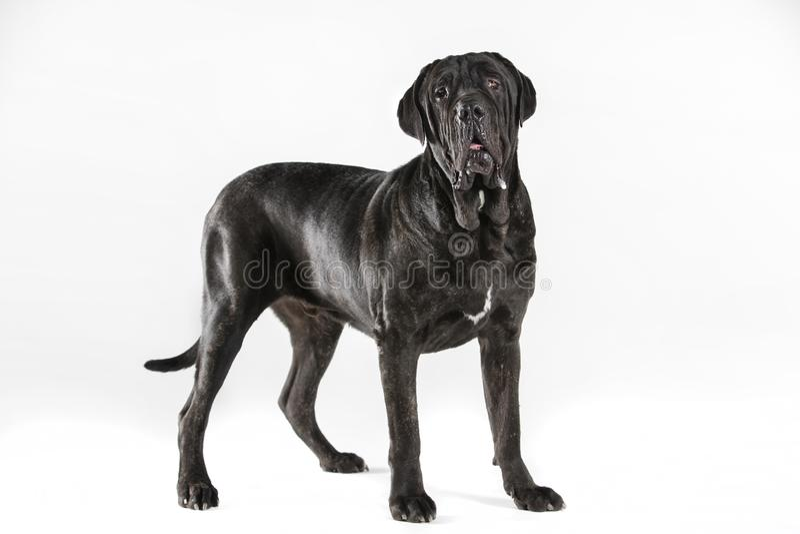 Black neopolitan mastiff in studio royalty free stock photos