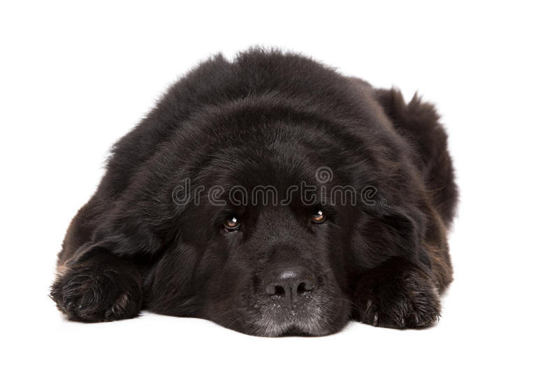 Black Newfoundland dog. In front of a white background royalty free stock photo