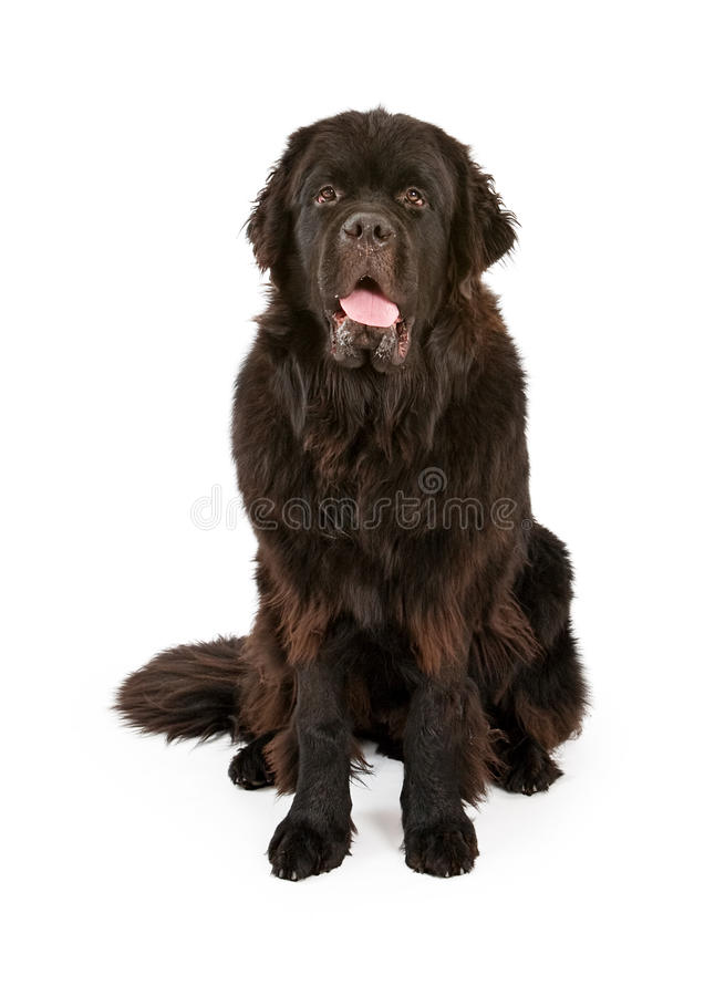 Black Newfoundland Dog Isolated on White. Large black Newfoundland dog isolated on white stock photo