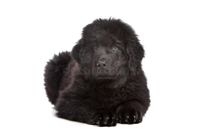 Black Newfoundland puppy stock images