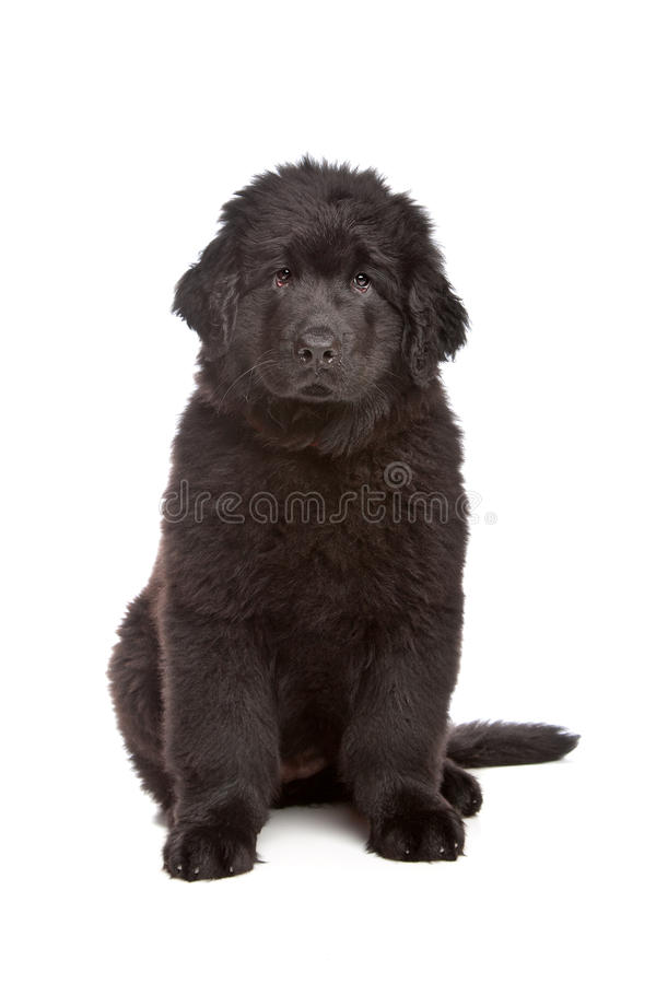 Black Newfoundland puppy. In front of white background royalty free stock images