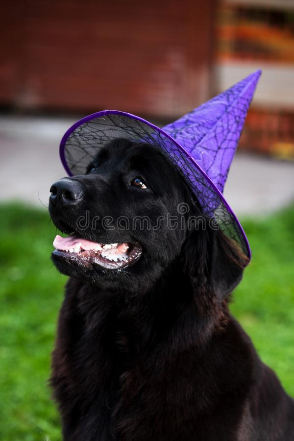 Black newfoundland puppy with a witch purple hat against sitting on the grass. Purebred black newfoundland puppy with a witch purple hat against sitting on the royalty free stock image