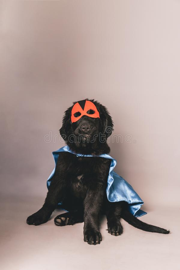 Black newfoundland with a red hero mask and blue cape against a grey seamless background. A black newfoundland with a red hero mask and blue cape against a grey stock photography
