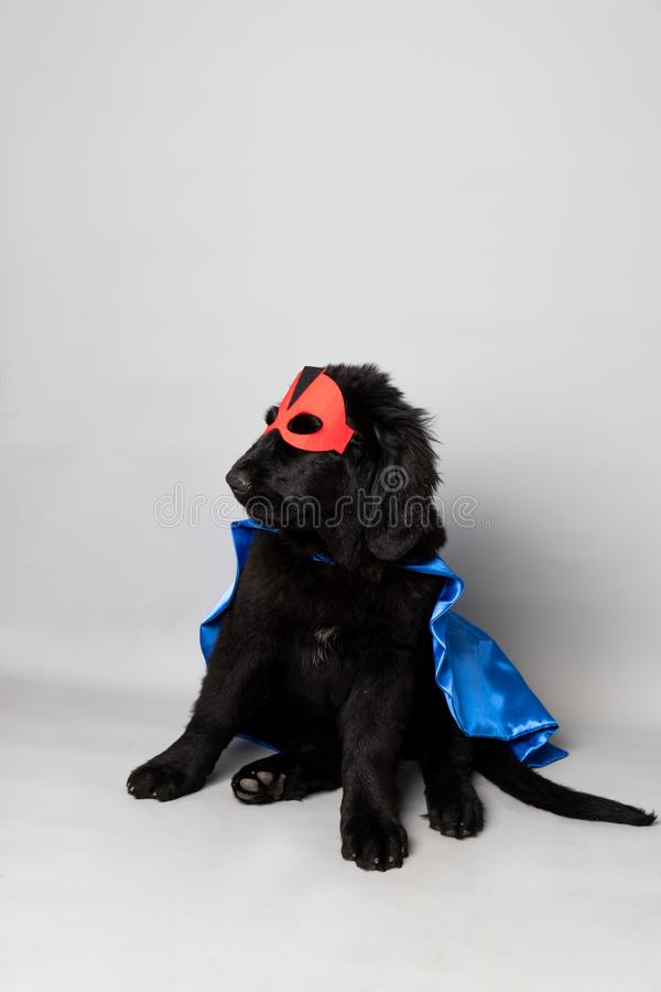 Black newfoundland with a red hero mask and blue cape against a grey seamless background. A black newfoundland with a red hero mask and blue cape against a grey stock photos