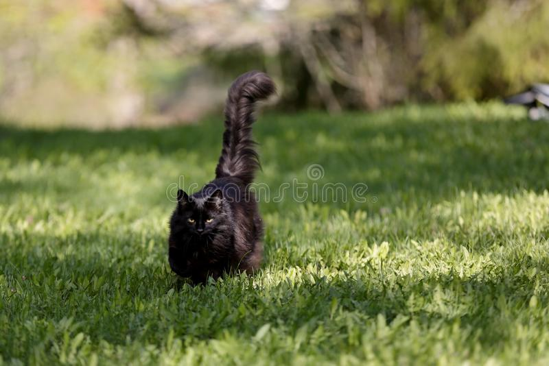 A black norwegian forest cat female walking. Black norwegian forest cat approaching with her tail lifted on a sunny morning royalty free stock image
