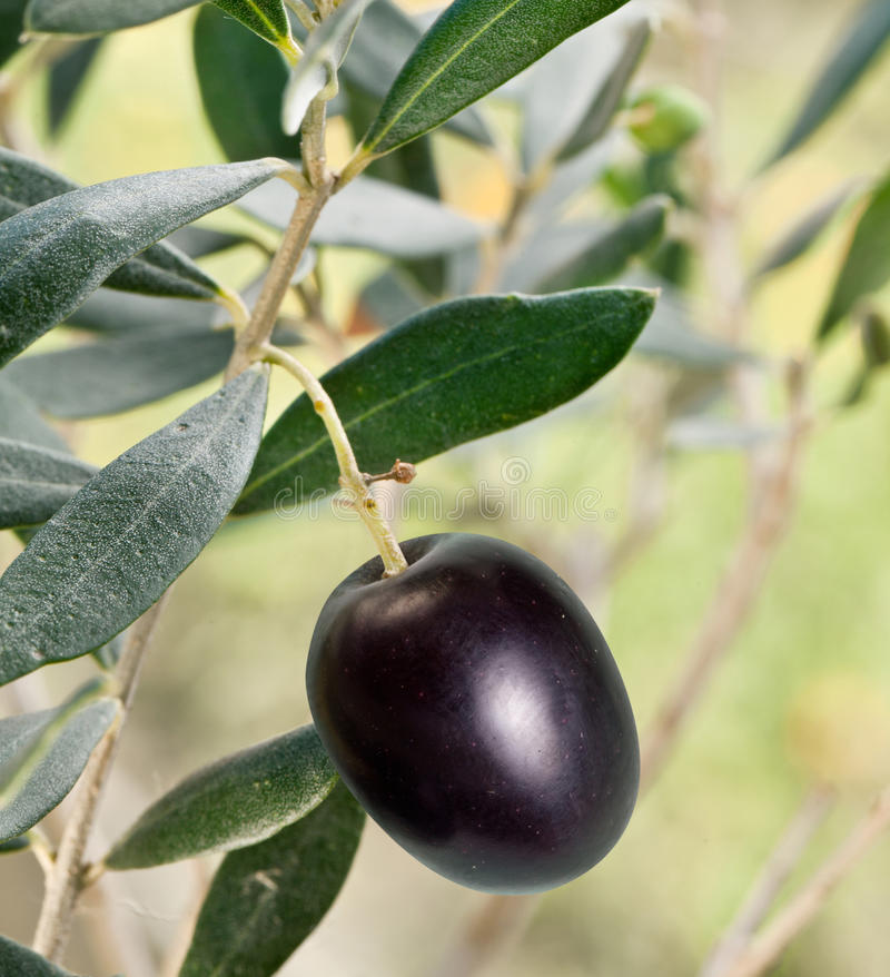 Black olive on the branch. On background of nature stock photography