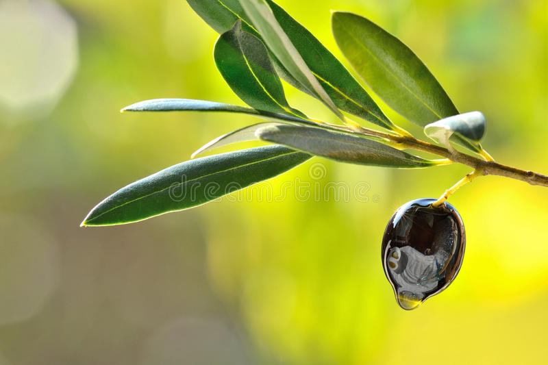 Black olive in garden food background. Black olive with leaves and oil drop, food background.Concept of healthy mediterranean diet, cuisine royalty free stock images