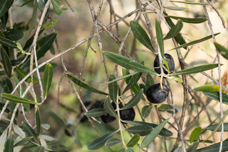 Black olive on a tree. Branch in the garden stock images