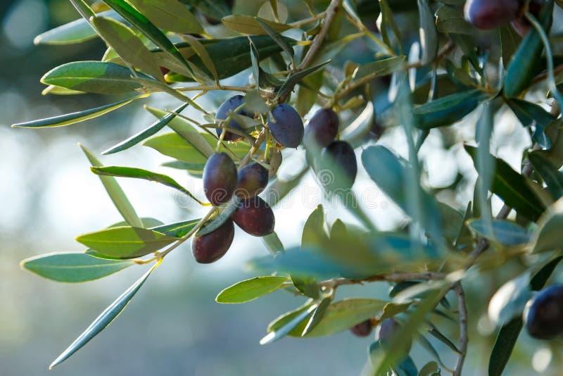 Black olives on a brunch. Few black olives on a brunch with green leaves stock photography