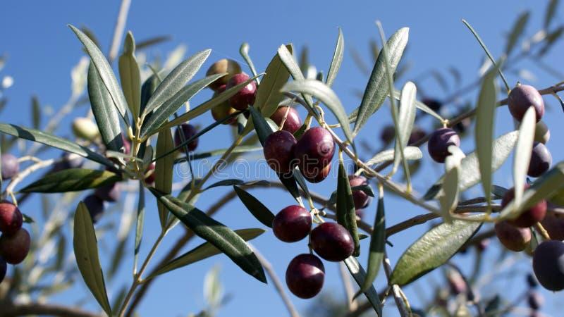 Black olives, ripe stock photography