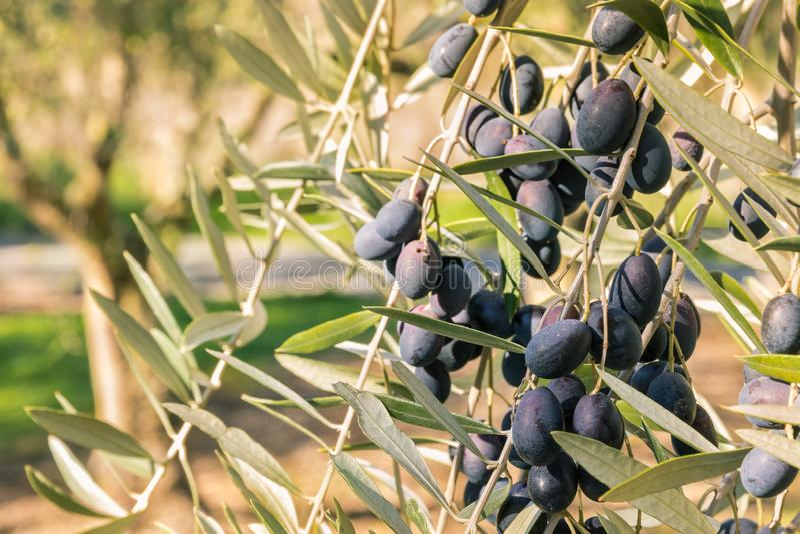 Black olives ripening on olive tree in olive orchard. Closeup of black olives ripening on olive tree in olive orchard stock photography