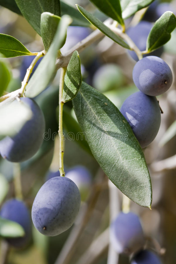 Black olives on tree royalty free stock photography