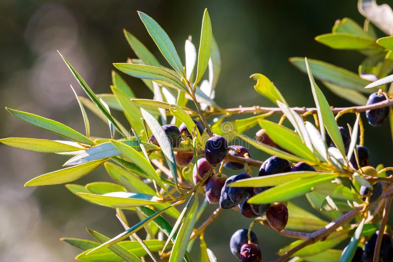 Black Olives Tree. Greek olive grove detail.  stock image