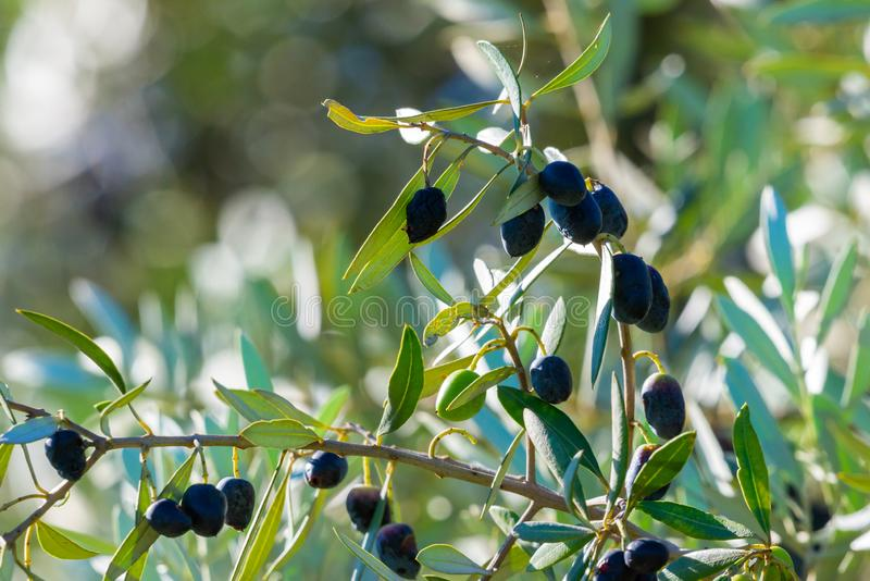 Black Olives Tree. Greek olive grove detail.  royalty free stock image