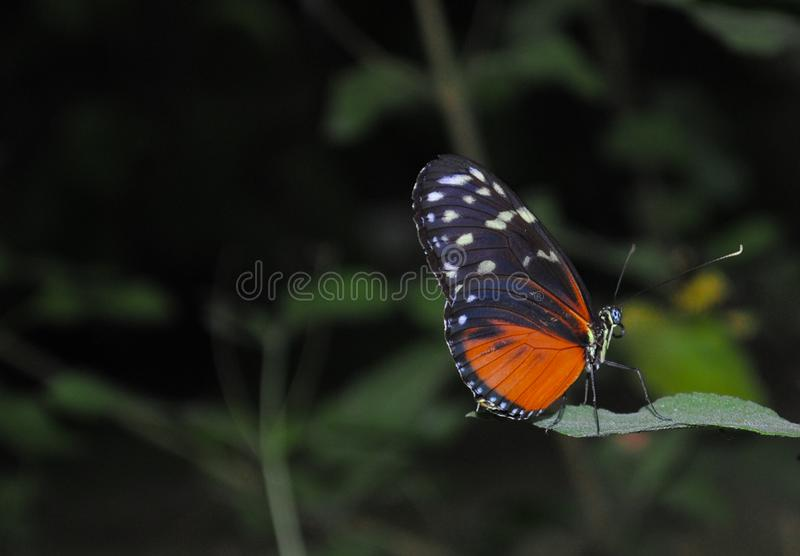 Black and Orange Butterfly Photo stock image