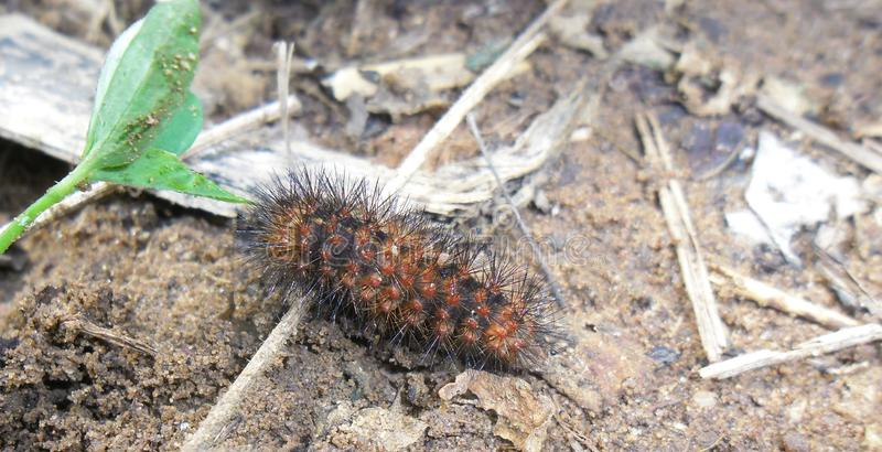 Black and orange furry caterpillar. An eye catching caterpillar of black and dark orange colors, walking among a planting undergrowth royalty free stock image