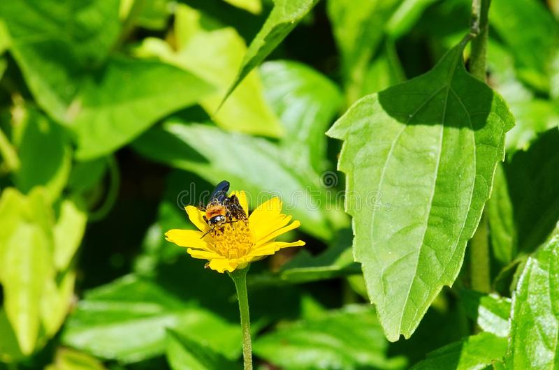 Black and orange wasp-like bee sucking nectar from a yellow daisy-like wildflower in Thailand. Frontal view of a black and orange bee as it intently sips nectar royalty free stock image