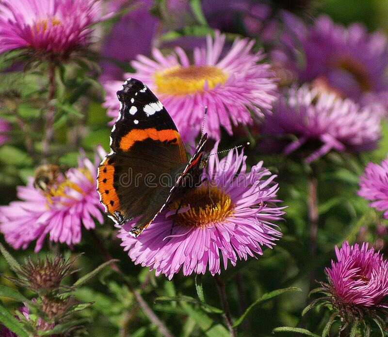 Black Orange White Butterfly on Purple Multi Petal Flower during Daytime royalty free stock images