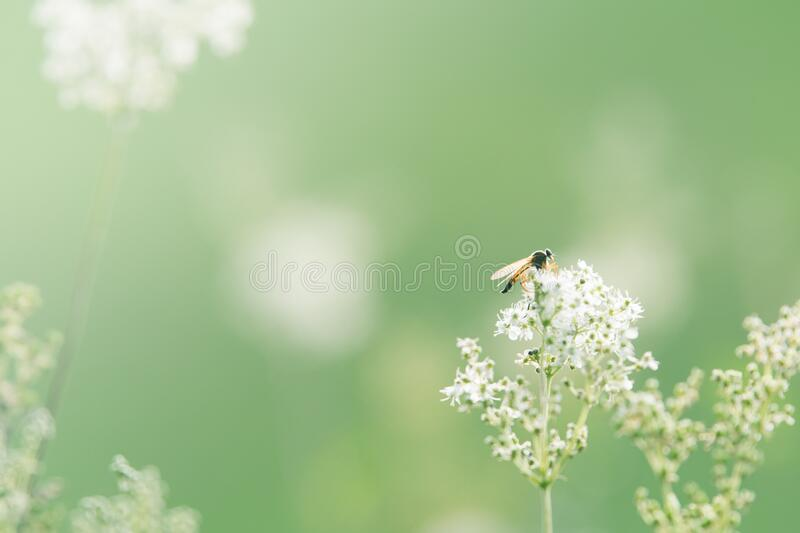 Black and Orange Winged Insect Pearch on Baby's Breath royalty free stock image