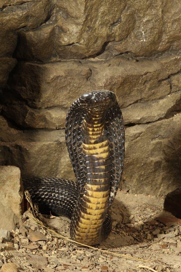 Black Pakistan Cobra stock photos