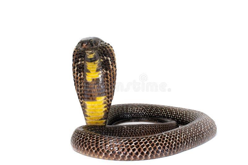Black Pakistani Cobra - Naja naja royalty free stock photo