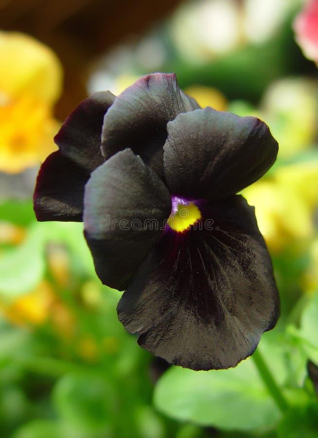 black pansy stock photo