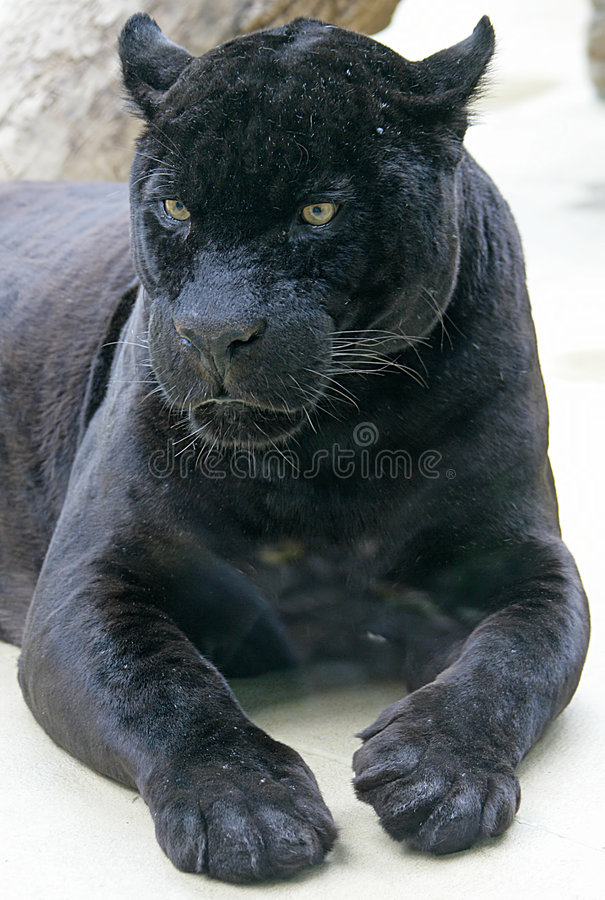 Free Black Panther 1 Royalty Free Stock Image - 2633376