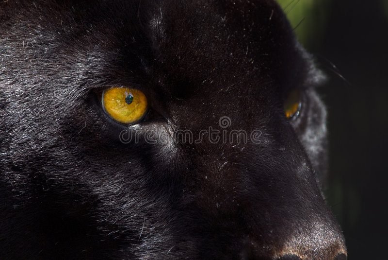 Black panther stock photos