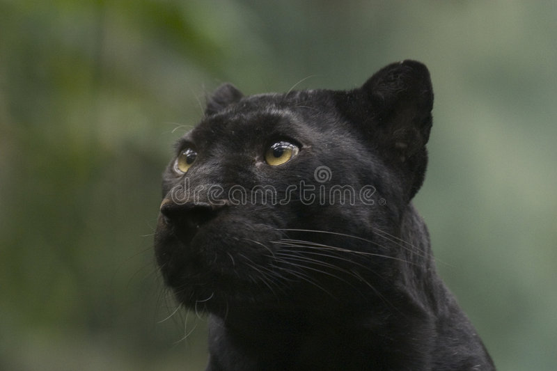 Download Black Panther stock image. Image of strong, panther, mammals - 68801
